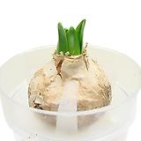 히야신스(수경재배/흰색) 