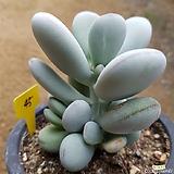 방울복랑금7두군생 (이곳저곳금이...)|Cotyledon orbiculata cv variegated