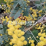 노랑자귀나무/아카시아|