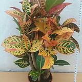목대크로톤/색상이너무이뻐요./52센치|Codiaeum Variegatum Blume Var Hookerianum