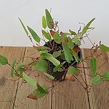 [단품할인]진분홍싸리나무|