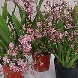 환타지아.향천(쵸코렛향).핑크색.향이 진짜 좋습니다.꽃대있습니다.상태굿...|Echeveria Fantasia Clair