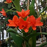 카틀레야 영민오렌지(아주예쁜색).주황색.꽃수명 3개월에서4개월간다고 합니다.선명한주황색.너무 예뻐요.|