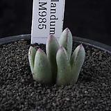 XP3257-C.blandum ARM985  브랜덤3두 