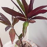 크로톤(외목대 묵은주/수형 예뻐요)완성분|Codiaeum Variegatum Blume Var Hookerianum