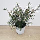 왁스플라워(12cm포트분)-외목대, 현재 꽃몽우리 많이 맺혀 있습니다~~|Echeveria agavoides Wax