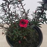 호주매화(빨강겹꽃)|