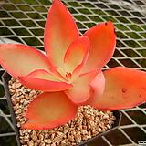 덱티리페라 (원종) 컷팅묘 (Echeveria dactylifera,  original species) 