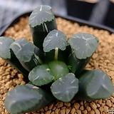 만상금 (Haworthia maughanii variegated) Haworthia maughanii variegated