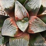 코렉타 이럽션 자구 (Haworthia correcta Eruption, offset) Haworhtia correcta