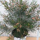 왁스플라워/베란다월동가능|Echeveria agavoides Wax