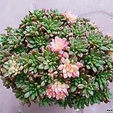 소인제금 중품 Aeonium  sedifolius