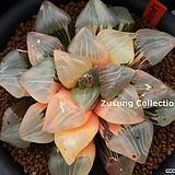 니시코렉타금 자구 중묘 (Haworthia Nishi Correcta variegated, offset) Haworhtia correcta
