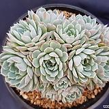 화이트턱시판|Echeveria tuxpan