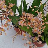 환타지아.향천(쵸코렛향).살구색. 연한환타색.색상예쁨.향이 진짜 좋습니다.꽃대있습니다.상태굿.|Echeveria Fantasia Clair