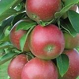 스칼렛센티렐사과/기둥사과/빨간큰사과|Echeveria Scarletta