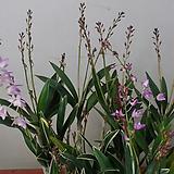 긴기아난.핑크샤워.잎에 무늬가 들어있어요.연핑크(아주좋은향).여성스러운색.|