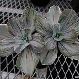 기비플로라 v.메탈리카금 컷팅묘 (Echeveria gibbiflora Metallica variegated) Echeveria Derenceana (lola)
