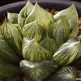 에비수금 극상반(極上斑) 자구 (Haworthia obtusa Ebisu variegated, offset) 