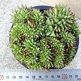 사치철화10|Echeveria agavoides f.cristata Echeveria