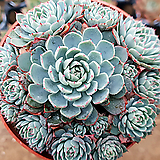 로이드041 Echeveria minima hyb Roid