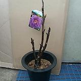 일본목단/조경/화단용/노지월동나무|