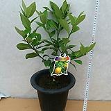 레몬나무/향기가좋은레몬나무|