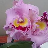 카틀레야.(연핑크에빨강립술).아주예쁜색.꽃대형종.향기좋은향.고급종.잘않나오는 품종.인기상품.꽃피었던상품.|