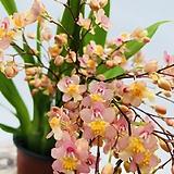 환타지아 초콜릿향 연환타색 특이난 향나는식물|Echeveria Fantasia Clair