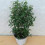 머틀허브나무/아로마효과/토피어리/흰꽃이피는 상록스허브나무|Hub