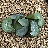 마경 만상 (뿌리 무)|Haworthia maughanii