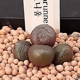 C.brunneum 브루니움 4두 (CO144) 