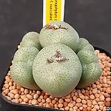 C.truncatum 트런카툼 6두 (CO145) 