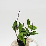 진한와인칼라 깅기아 긴기아 난 향기나는식물|
