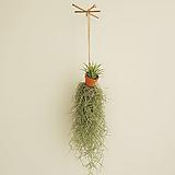 수염틸란 토분이오난사 1ea  공기정화식물 공중식물|