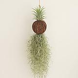 수염틸란 퐁퐁 1ea 공기정화식물 공중식물|