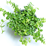이사벨라 페페로미아 실내공기정화식물 먼지먹는식물 관엽식물|
