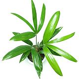 관음죽 실내공기정화식물 실내관엽식물 인테리어식물 실내화초 실내식물|