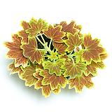 벤쿠버 제라늄 실내공기정화식물 관엽식물 실내화초 Geranium/Pelargonium