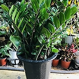 금전수(돈나무)공기정화식물키약70 Zamioculcas zamiifolia