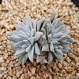화이트그리니 4두 1554|Dudleya White gnoma(White greenii / White sprite)