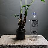 알로카시아 소중품 공룡꽃식물원 45|Alocasia