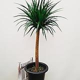굵은 목대 드라코 공기정화식물|