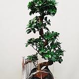 팬더 가지마루 (비닐포트) 공기정화식물|