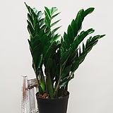 금전수 대품 돈나무 공기정화식물|Zamioculcas zamiifolia