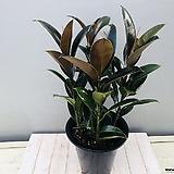 멜라니고무나무|Ficus elastica