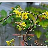 몽키트리 (미키마우스나무)|