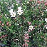 왁스플라워.흰색꽃.꽃꽂이소재사용.고급종나무.|Echeveria agavoides Wax