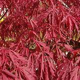 일본단풍,접목홍단풍(블러드굿)|