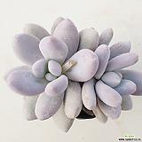 후레뉴42|Pachyphtum cv Frevel